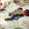 MANDARIN FISH (male)
