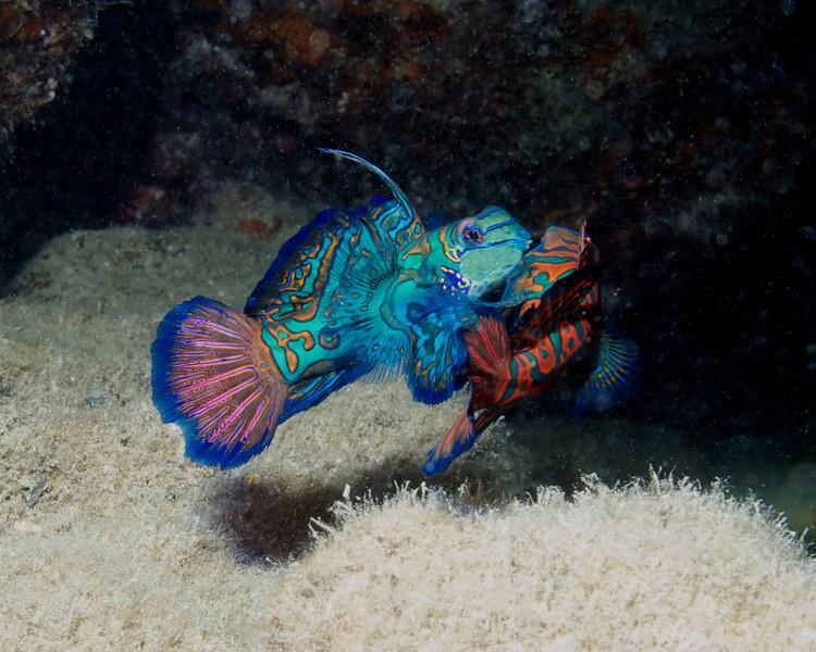 COURTING MANDARIN FISH