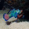 COURTING MANDARIN FISH
