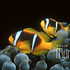 Clown Fish I
