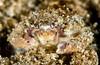 Juvenile crab
