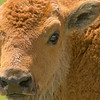 """""""Red Doggin""""<br /> Newly born bison calf in Lamar Valley, Yellowstone."""