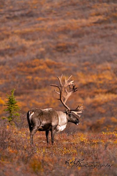 Bull; Caribou; Rangifer tarandus granti