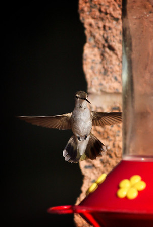 Hummingbird in Rifle, Colorado