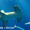 d3S-7 Hammerhead shark at ISO 25,600