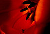 Anther dust inside a tulip.<br /> Photo © Carl Clark