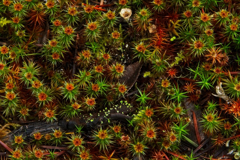 Look closer - there is a lot going on.  This is Juniper Haircap moss taken in a coastal forest on the central Oregon coast.<br /> Photo © Cindy Clark