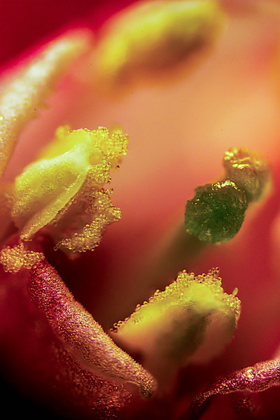 A red flowering current flower ripe with pollen.<br /> Photo © Cindy Clark