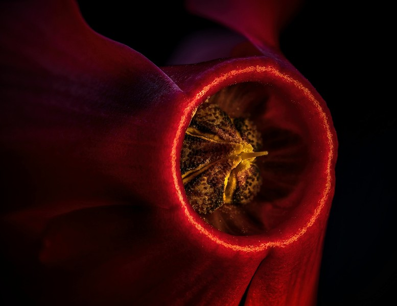 Close up of a cyclamen flower.<br /> Photo © Cindy Clark
