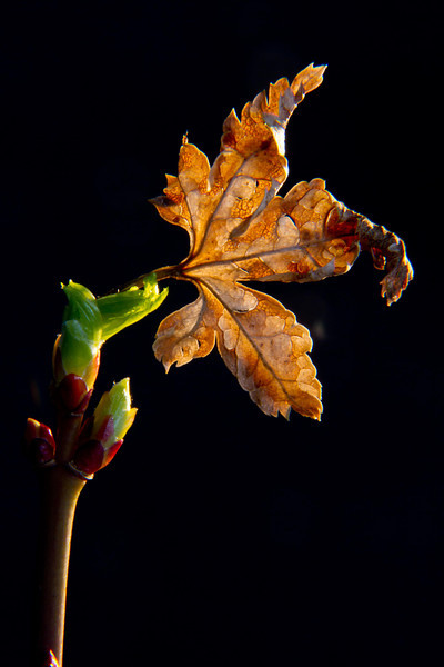 New leaves of a Japanese maple push out the old.<br /> Photo © Carl Clark