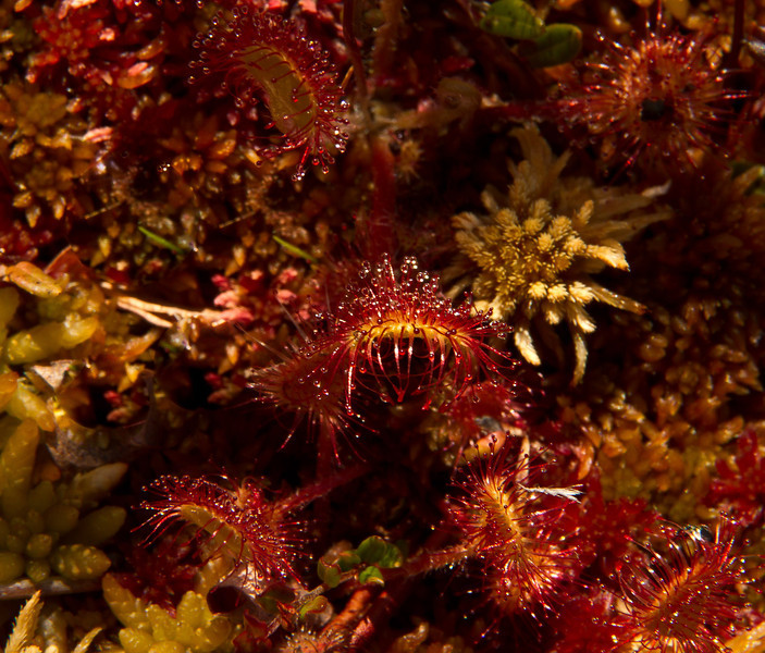 As ferocious as it looks!  This is a carniverous sun dew plant growing in a peat bog on Vancouver Island.<br /> Photo © Cindy Clark