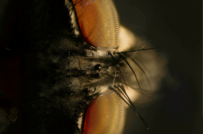 A little too close!   This is the forehead & eyes of a housefly. Photo © Cindy Clark