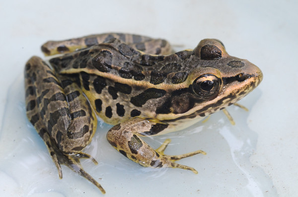 Leopard frog, Cumberland County, Tennessee, Summer 2010.