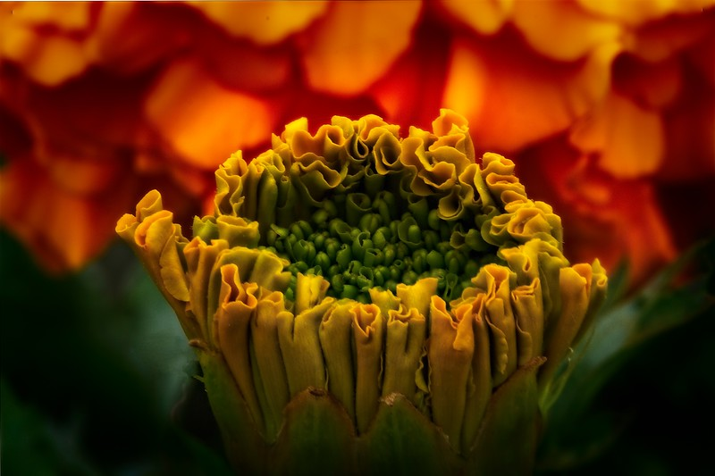 Marigold bloom about to open.<br /> Photo © Cindy Clark