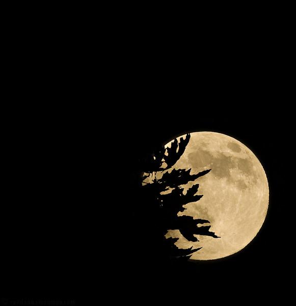 """October 25, 2007 - Moon invasion !  for a regular full moon shot - <a href=""""http://vandana.smugmug.com/gallery/1550049/1/212987632/Medium"""">here</a>"""