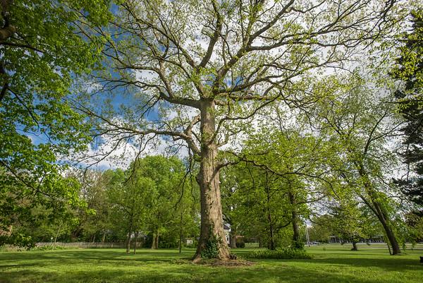 Urbana Legacy Tree