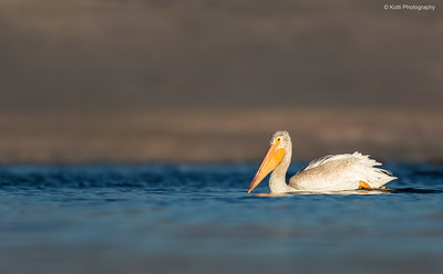 Gracious White Pelican Swim