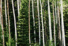 4 SOME ASPENS ALONG THE WAY