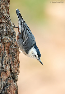 White Breasted Nutach