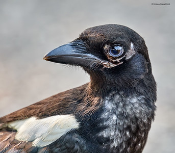Juvenile Black Billed Magpie