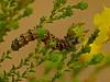 Unidentified moth caterpillar. on <em>Holocarpha obconica</em>. Vaqueros Farms, Contra Costa Co., CA  9/19/10