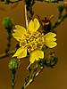 <em>Holocarpha obconica</em>, San Joaquin Tar Weed, native.  <em>Asteraceae</em> (= <em>Compositae</em>, Sunflower family). Vaqueros Farms, Contra Costa Co., CA  9/19/10