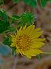 <em>Grindelia camporum</em>, Gumweed, native.  <em>Asteraceae</em> (= <em>Compositae</em>, Sunflower family). Vaqueros Farms, Contra Costa Co., CA 9/19/10