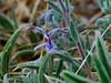 <em>Trichostema lanceolatum</em>, Vinegar Weed, native.  <em>Lamiaceae</em>  ( Mint family ) Vaqueros Farms, Contra Costa Co., CA 9/19/10