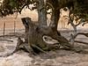<em>Quercus douglasii</em>, Blue Oak, native.  <em>Fagaceae</em> ( Oak family) Vaqueros Farms, Contra Costa Co., CA 9/19/10