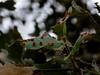 Galls of wasp, <em>Andricus gigas</em> on Blue Oak, <em>Quercus douglasii</em> Vaqueros Farms, Contra Costa Co., CA  9/19/10 Thanks Laura Baker for suggesting the ID for this one.