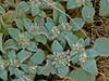 <em>Eremocarpus setigerus</em>, Turkey-mullein, Doveweed, native. <em>Euphorbiaceae</em>, (Spurge family). Vaqueros Farms, Contra Costa Co., CA 9/19/10