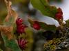 Urchin gall of wasp <em>Antron echinus</em> under leaves of Blue Oak, <em>Quercus douglasii</em> Vaqueros Farms, Contra Costa Co., CA  9/19/10