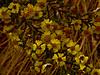 <em>Holocarpha virgata</em> ssp. <em>virgata</em>, Virgate Tarweed, native.  <em>Asteraceae</em> (= <em>Compositae</em>, Sunflower family). Vaqueros Farms, Contra Costa Co., CA  9/19/10