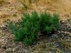 <em>Allenrolfea occidentalis</em>, Iodine Bush, native.  <em>Chenopodiaceae</em>  ( Goosefoot family). Vaqueros Farms, Contra Costa Co., CA 9/19/10