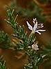 <em>Frankenia salina</em>, Alkali-heath, native.   <em>Frankeniaceae</em> (Frankenia family). Vaqueros Farms, Contra Costa Co., CA  9/19/10 Yeah, I know.  How come it's white?   I'm not knowing.