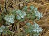<em>Marrubium vulgare</em>, Horehound,  Europe.  <em>Lamiaceae</em> (Mint family). Vaqueros Farms, Contra Costa Co., CA  9/19/10
