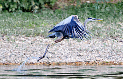 Blue Heron taking flight.  Current River, southern Missouri
