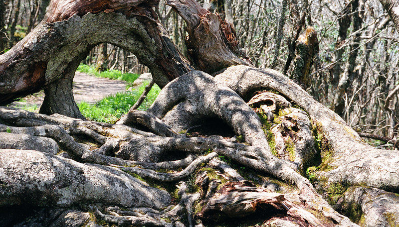 On a trail in the Blue Ridge Mountains. gnarled tree trunks were perfect for this lens.