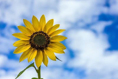 Bright Sunflower and Sky
