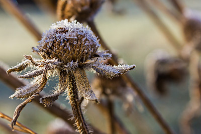 Frosted Dead Flower