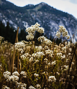 Field Flowers in Kings Canyon National Park