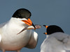 FEED ME!!!<br /> During courtship, male terns bring gifts of fish to entice their future mates. Seems to me that it works much the same way in human society....