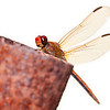 For years, I saw these striking red dragonflies hovering around my backyard, particularly at mid-day. ...But I was always unable to photograph them, as they are extremely skittish. Finally, last summer, I managed to find one that would sit still for a few seconds. I believe it's a Needham's Skimmer (Libellula needhami).