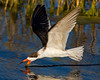 "This photograph of a Black Skimmer was captured  Merritt Island National Wildlife Refuge near Titusville, Florida (3/10).  <FONT COLOR=""RED""><h5>This photograph is protected by the U.S. Copyright Laws and shall not to be downloaded or reproduced by any means without the formal written permission of Ken Conger Photography.<FONT COLOR=""RED""></h5>"