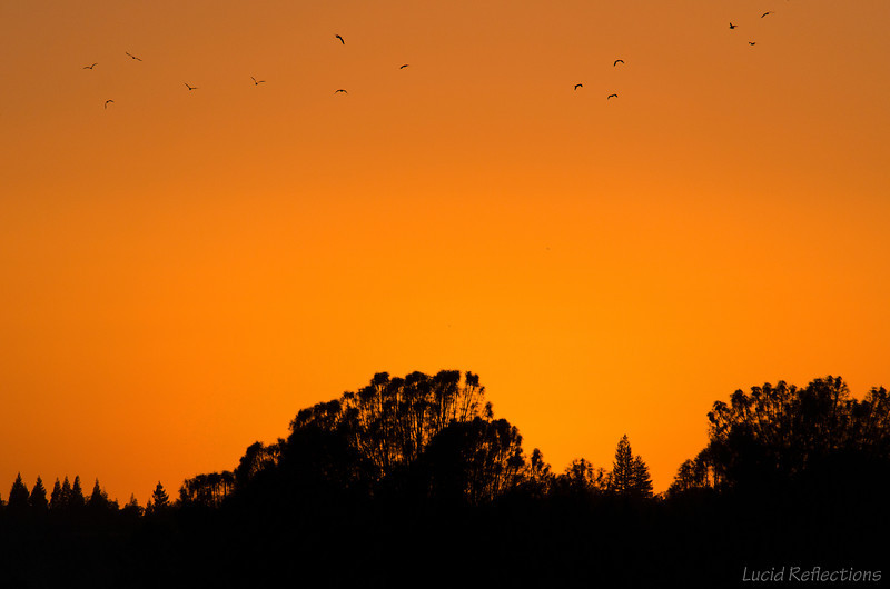 Flock of cranes heading to roost as the sun sets over the American River (California)
