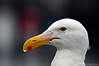 Seagull, portrait., Bodega, Bay, California.