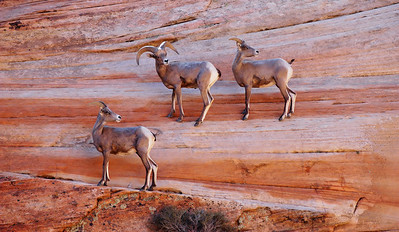 Rock Mountain Bighorn Sheep. Zion N.P. Utah