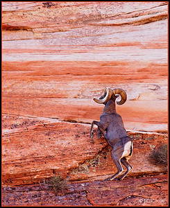 Rocky Mountain Bigorn Sheep. Zion N.P. Utah