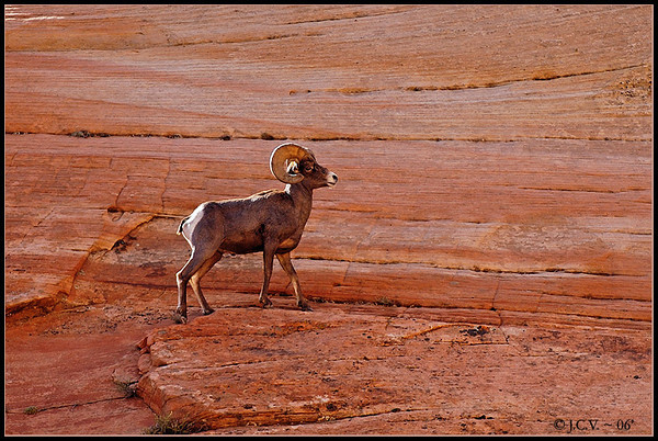 Rocky Mountain Bighorn Sheep. Zion N.P. Utah