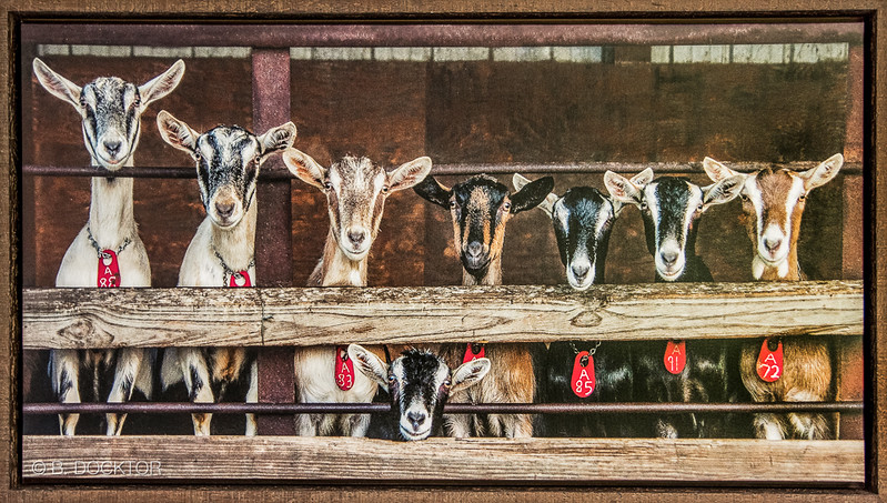 Adding a frame to a canvas gallery wrap makes for a beautifully finished piece of unique photo art. Coach Farm Goats Family Portrait